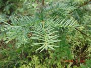 Torreya californica (144)